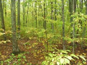 Photo 14 - Deciduous Forest Sugar maple