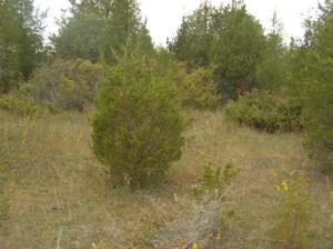Photo 5 - Treed Alvar Red cedar